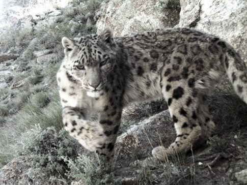 snow-leopard--afghanistan